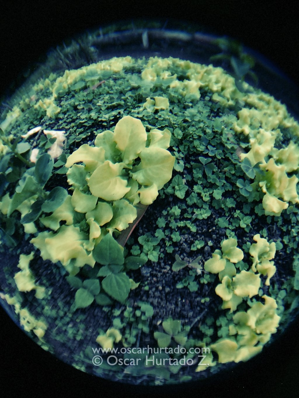 Fish-eye view of the lettuce growing in the garden