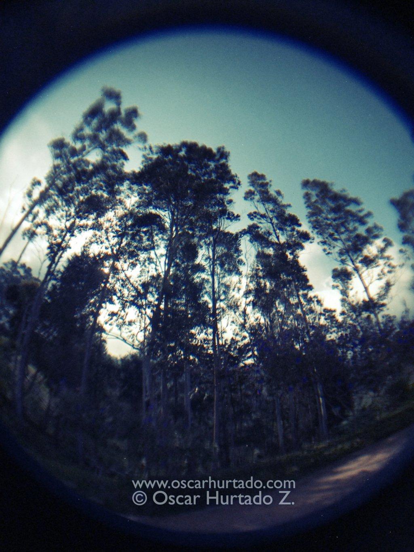 Eucalyptus Giants - Fish-eye color photograph (2014)