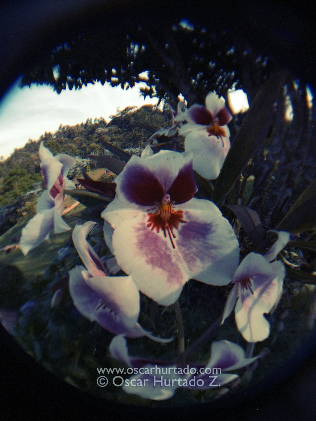 Fish eye lens view of a group of beautiful white and purple orchids