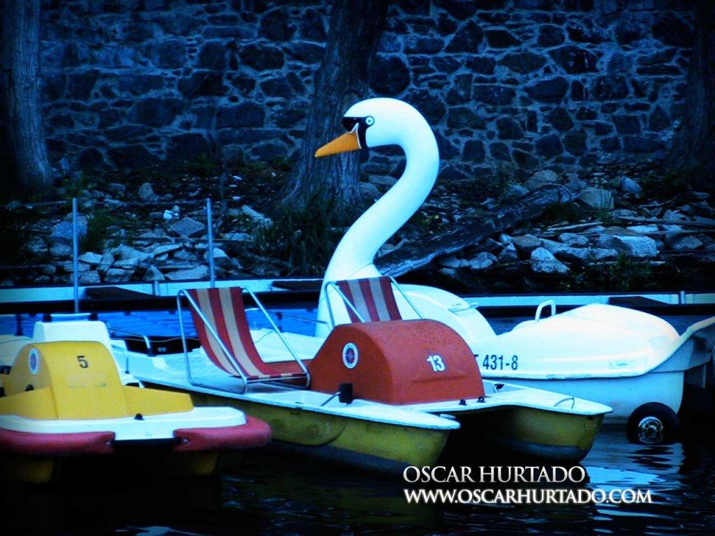 Majestic Swan - Color photograph (2008)