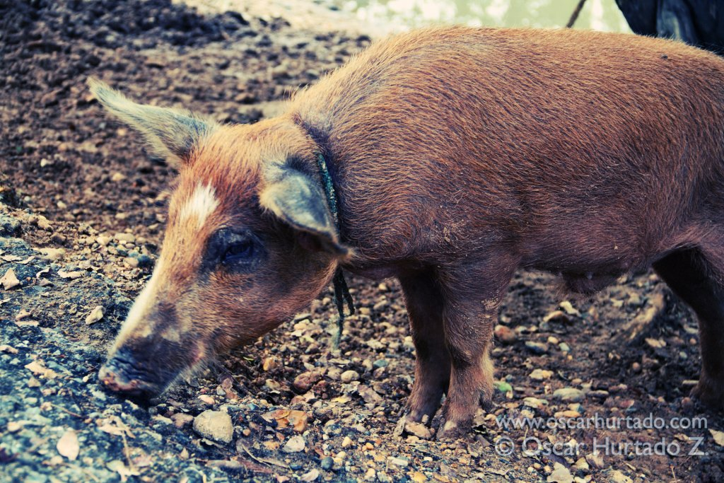 A pet pig goes around searching for anything to eat on the soil of the Magdalena river shore